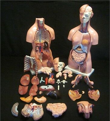 41 Part LIFESIZE UNISEX HUMAN ANATOMY TORSO ANATOMICAL MALE/FEMALE MEDICAL MODEL