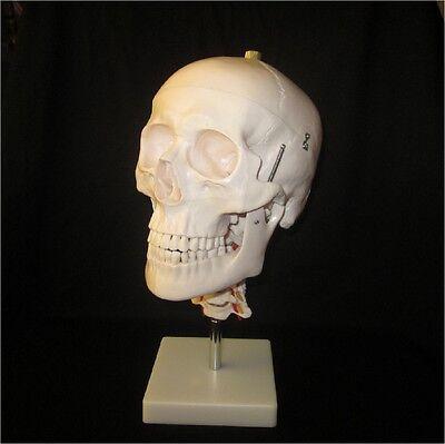 Anatomical Skeleton Skull Life Size Human Adult Model With Cervical Spine
