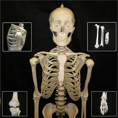 Human Anatomical Skeleton Life Size Advanced Model Stand Bone Number Kit New