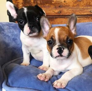 PEDIGREE PAPERED FRENCH BULLDOG PUPS. ... RED PIED MALE ONLY AVAILABLE