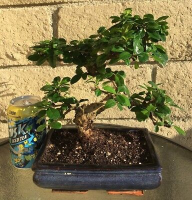 Outdoor Bonsai Tree - Fujian (Fukien) Tea Blooming Bonsai Tree -