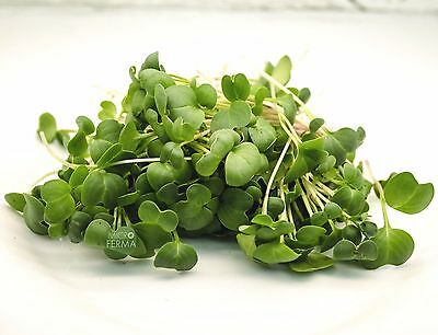 Micro-Green: Radish daikon Salad seeds from Ukraine for sale  Shipping to Canada