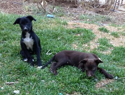 Red Kelpie Border Collie Cross Border Collie Kelpie x Pups