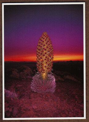 Postcard Silversword Haleakala National Park Maui, Hawaii