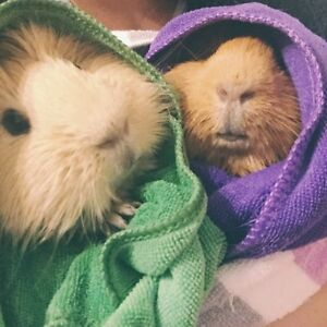guinea pigs looking for new mum Bedford Park Mitcham Area Preview