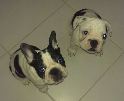 2 male French bulldogs  Lake Haven Wyong Area Preview