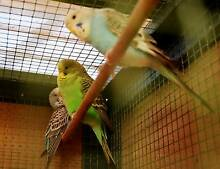3 beautiful English baby budgies for sale South Launceston Launceston Area Preview