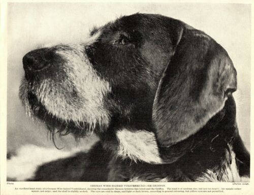 1930s Antique GERMAN WIREHAIRED Pointing Griffon Dog Print  3418-S