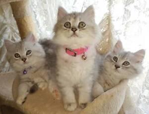 Chinchilla x Kittens