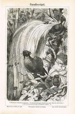 Tafel PARADIESVÖGEL 1890 Original-Holzstich
