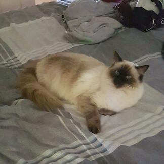 Missing Ragdoll Cat in Mount Pleasant area Mount Pleasant 4740 Mackay City Preview