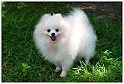 WHITE MALE POMERANIAN