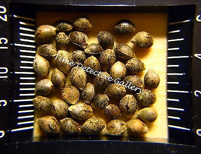 Cannabis Sativa Seeds   A Giclee Photo Print