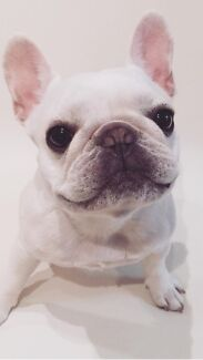 french bulldog blue /cream Imported bloodline Sydney City Inner Sydney Preview