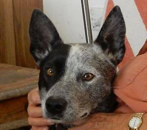 Ziggy 2 year old friendly and happy stumpy tailed blue heeler Dee Why Manly Area Preview