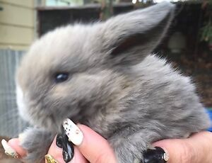 Baby Mini Lop Rabbits Forbes Forbes Area Preview
