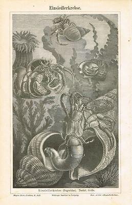 Tafel EINSIEDLERKREBSE 1886 Original-Holzstich