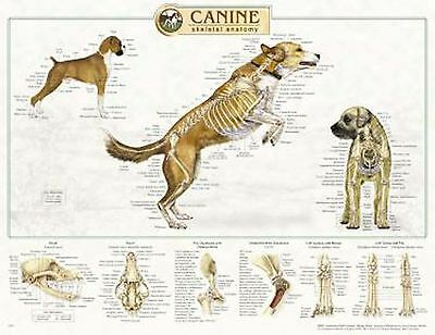 Canine Skeletal Anatomy Laminated Wall Chart 92515 Dog