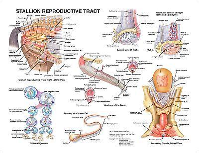 Equine Stallion Anatomy Wall Chart 15 Lfa 2550a Horse
