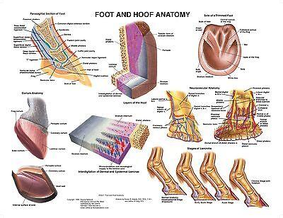 Equine Foot Hoof Anatomy Wall Chart 5 Lfa 2540 Horse