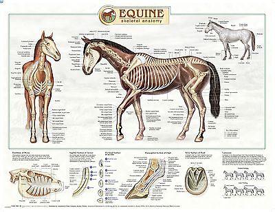 Equine Skeletal Anatomy Wall Chart 16 Lfa 92535 Horse