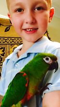 Tame jenday x hahns macaw hybrid Kingswood 2747 Penrith Area Preview