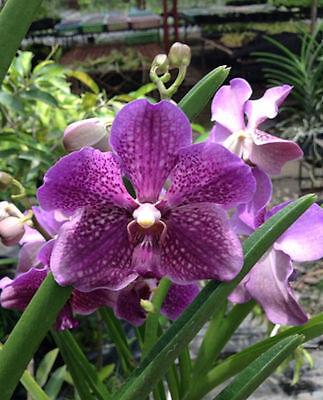 Orchid - Vanda Mamo Somjit Bangyikhan Blue ….. Stock #343 for sale  Shipping to Canada