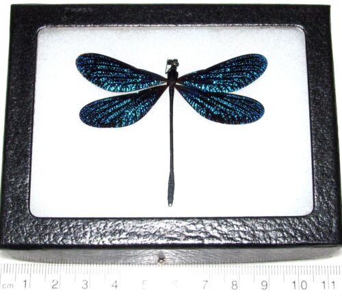Vestalis melania blue dragonfly damselfly Philippines framed