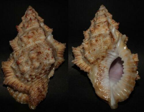 Seashells Bufonaria ignobilis FROG SHELL 89mm HUGE F+++/GEM Marine Specimen