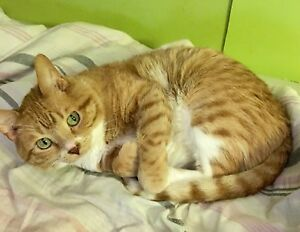 Cat missing Amelia St. E, Westfort