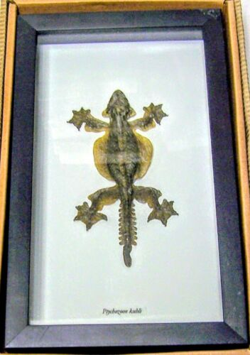 "REAL ""FLYING GECKO"" LIZARD TAXIDERMY IN SHADOWBOX FRAME"