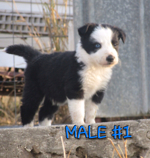 Male Border Collie Puppies