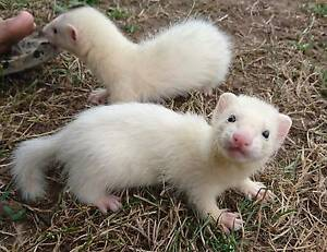 Baby Ferrets for sale Tumut Tumut Area Preview