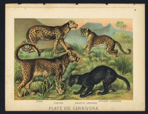 CHETAH, AFRICAN LEOPARD, Vintage 1897 Chromolithograph Print, Antique, 008