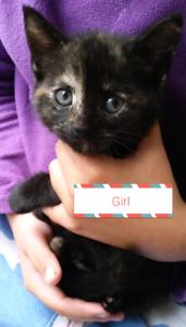 Free Kitten! Manx mother