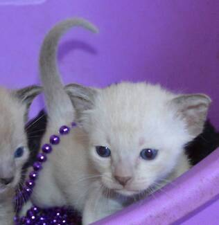 "TONKINESE KITTENS - ""OH SO CUTE"" Elimbah Caboolture Area Preview"