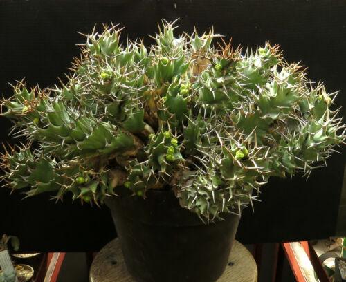 Euphorbia tortirama XL size,Caudex,Euphorbia,Bulb