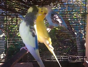 English Budgies $20 Jindalee Brisbane South West Preview