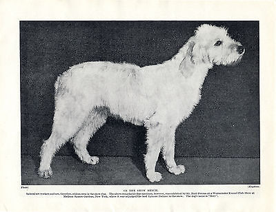 ITALIAN SPINONE AT WESTMINSTER DOG SHOW OLD ORIGINAL DOG PRINT FROM 1934