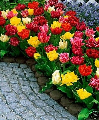 10 TULIPS DOUBLE MIXED GARDENING BULB BEAUTIFUL SPRING SUMMER FLOWER PERENNIAL