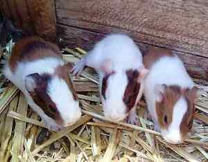 Guinea Pigs Ganmain Coolamon Area Preview