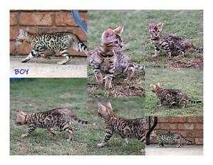 PEDIGREE MALE BENGALS AVAILABLE