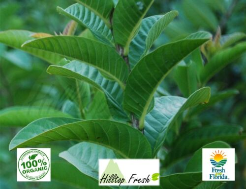 Fresh Guava Leaves 110 pcs -  Certified Fresh From FLORIDA - Organic & Grade A