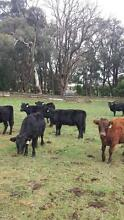 Dexter Cows For Sale Moorabool Area Preview