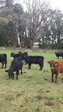 Dexter Cattle/ Cows For Sale Moorabool Area Preview