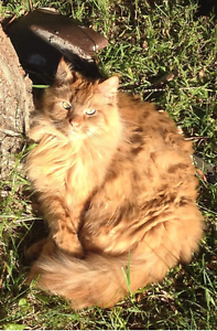 Cat Looking for New Home Glenbrook Blue Mountains Preview