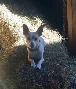 FOR ADOPTION Chihuahua x Mini Foxie Boy South Maclean Logan Area Preview