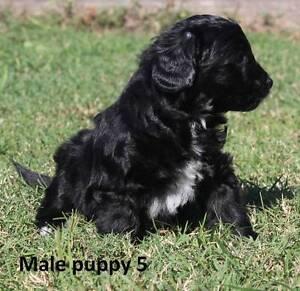 1 gorgeous male Cavoodles (toy poodle x Cavalier) St Clair Penrith Area Preview