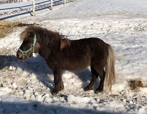Étalon cheval miniature