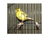 fife fancy canarys